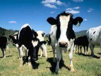 Tnuva inchide ferma de vaci de la Adunatii Copaceni. Se construieste un aeroport!