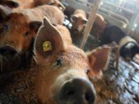 Noi reguli pentru fermieri: obligati sa pastreze linistea langa porci si sa nu ii tina in intuneric si curenti de aer