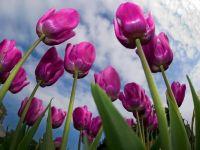 A umilit Tara Lalelelor. Povestea antreprenorului care cultiva flori in Romania si exporta cu tonele in Olanda