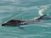 Cu o donatie de 100 de lei, veti avea propriul delfin din Marea Neagra. Proiectul care va salva mii de delfini de la moarte