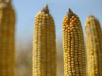 Romania, pe locul 1 in UE la suprafata cultivata cu porumb, dar sta slab la randament