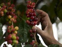 Pretul boabelor de cafea a scazut la minimul ultimilor 3 ani. Produsul final se vinde, insa, la fel de scump