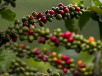 Tara unde doar cafeaua mai face diferenta intre foamete si supravietuire