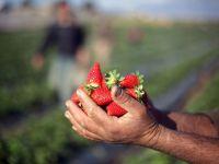 800 de locuri de munca in agricultura, in Spania, disponibile prin agentii de somaj din tara. Castigul, aproape 40 euro/zi