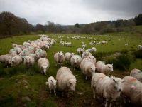 Chinezii se tin de promisiunile facute anul trecut: vor sa cumpere 25 mil. de oi si porci din Romania. Fermierii nu pot face fata cererii