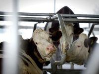 Chinezii, interesati de fermele si fabricile de lactate de la noi