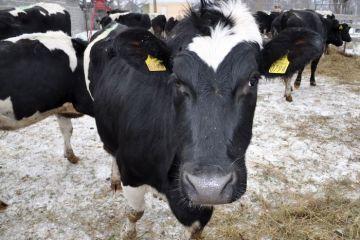 Reprofilare pe piata crescatorilor de animale. Baltata romaneasca, data pe rasele din Scotia si Argentina