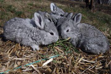 Cumparam carne  Made in China . Anul trecut, Romania a importat 92.000 de tone de iepure