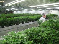 In prima luna de la legalizarea marijuanei, statul Colorado a incasat 2 mil. dolari din taxe, iar vanzarile au depasit 14 mil. dolari
