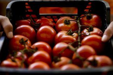Agricultură fără cap. În ciuda succesului pe care l-a avut programul  Roşia românească , fermierii aruncă legumele, pentru că nu au unde să le vândă