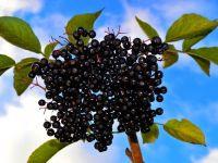 Fermierii romani au dat fructele si legumele autohtone pe goji, aronia sau kaki. Ce profituri le ies din culturile exotice