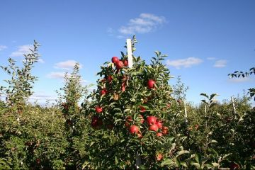 Livezile pitice, noul pariu al agricultorilor. Pomii liliputani intra pe rod mult mai repede si aduc profit dublu