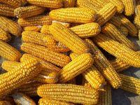 Romania, al doilea producator de porumb din UE, desi are cea mai mare suprafata cultivata. Recolta de 11 mil. tone
