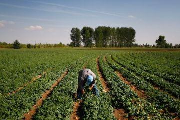Spanacul, afacerea care aduce agricultorilor castiguri mai mari decat si-au imaginat vreodata. Profit rapid de pe urma celor care vor sa manance sanatos