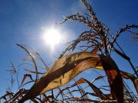 Isarescu: Productia de porumb, cea de cartofi, dar si de floarea soarelui vor fi afectate substantial din cauza secetei