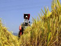 Pretul orezului ar putea creste din cauza fenomenului El Nino