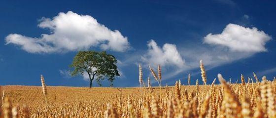 Cel mai mare producator de cereale din UE ar putea importa grau din Romania. Franta raporteaza cea mai slaba recolta de dupa 2003, Romania are productie record