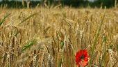 Valoarea productiei agricole a scazut cu 6,6%, anul trecut. Romania a exportat mai mult grau, dar vanzarile de porumb s-au redus cu 60%
