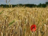 Lovitură pentru exportatorii de grâu din România. De ce refuză Egiptul un vapor încărcat cu cereale în valoare de 10 mil. dolari