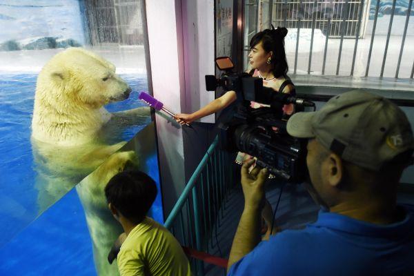 Un urs polar priveste microfonul unie jurnaliste, la parcul de distractii Polarland, din Habrin, China. In parcul care are ca tematica zona arctica, vizitatorii pot vedea ursi, vulpi polare sau pinguini. Foto: Xinhua/Wang Jianwei/Agerpres