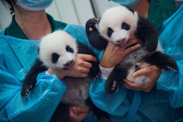 Doi pui de panda urias sunt prezentati pentru prima data publicului, in Macao, China. Nascuti pe 26 iunie, puii au crescut de la 135 si 54 de grame ,la 2,5, respectiv, 2,2 kg. Foto: Xinhua/Cheong Kam Ka/Agerpres