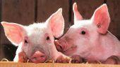 """Reusita """"istorica"""" pentru Romania care reia exporturile de porci vii catre UE. De ce am avut interdictie timp de 13 ani"""