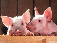 Isărescu:  Impactul pestei porcine nu a fost introdus în calculele privind inflaţia.  România a importat în 2018 o cantitate dublă de carne de porc față de anul trecut