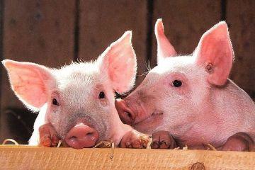 Reusita  istorica  pentru Romania care reia exporturile de porci vii catre UE. De ce am avut interdictie timp de 13 ani