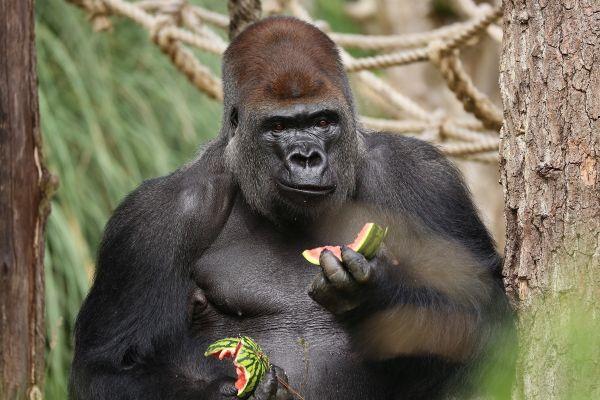 Gorila Kumbuka mananca pepene, la Gradina Zoologica din Londra. Animalul a fost readus la Zoo, dupa ce, joi, scapase din cusca. Gorila nu au fost ranita in timpul operatiunii de prindere, iar incidentul nu a provocat victime. Foto: AP/Agerpres