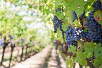 Viticultori multi, podgorii putine. Eurostat: Romania are cei mai multi proprietari de vita-de-vie din UE, desi se afla pe locul 5 dupa suprafata cultivata