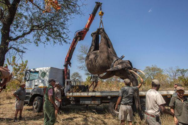 Autoritatile africane urca un elefant intr-un camion, pentru a-l transporta in Nkhotakota, Malawi. 500 de elefanti au sunt relocati, pentru a creste populatia de mamifere mari in regiune. AMOS GUMULIRA/AFP/Getty Images/Guliver