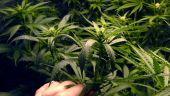 Ministrul Finanțelor spune că legalizarea canabisului este în analiză. Teodorovici:  Este deja o practică europeană şi justificarea există, medical vorbind