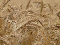 Rusia va vinde, în acest an, cea mai mare cantitate de grâu exportată de o țară în ultimul sfert de secol