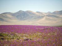 Cel mai arid deşert din lume a înflorit, din cauza schimbării climei