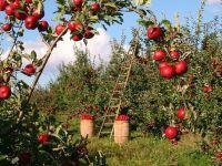 Rusia nu mai importă mere și lapte, ci puieți de măr și vaci de lapte. Strategia lui Putin pentru siguranța alimentară: retehnologizarea și dezvoltarea agriculturii
