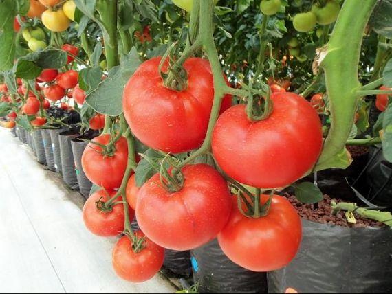 Ministerul Agriculturii anunță că primele roșii românești au ajuns în București. În ce piețe se comercializează