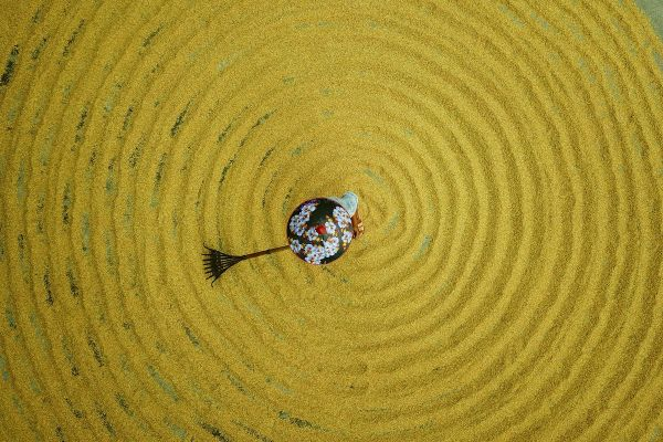 Un fermier din China usucă orezul la soare, într-un sat din sud-vestul țării. Foto: Agerpres/Xinhua/Wang Changyu