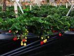 Spaniolii caută aproape 1.000 de români pentru cules de căpșune și struguri. Ce alte țări din Europa fac angajări