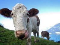 Țara europeană care votează dacă vacile să aibă coarne sau nu. Cum s-a ajuns la acest referendum
