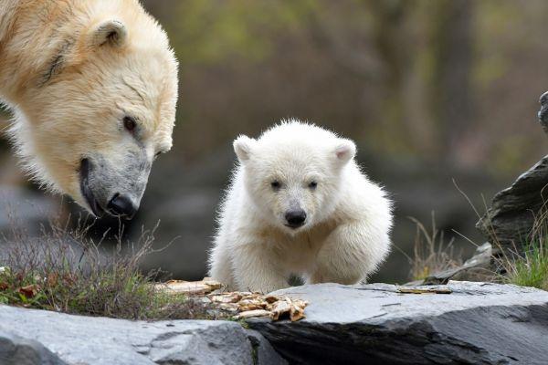 Un pui de urs polar este prezentat vizitatorilor la Gradina Zoologică din Berlin. Puiul s-a născut pe 1 decembrie 2018. Foto: PAUL ZINKEN/AFP/Getty Images/Guliver
