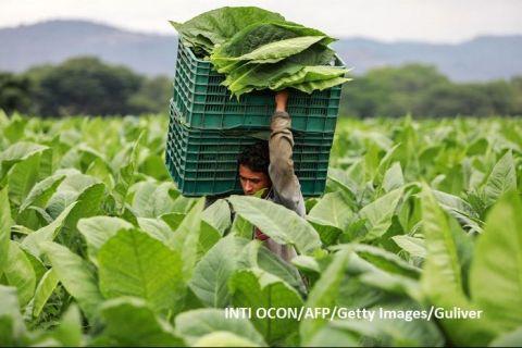 Țara care amenință supremația Cubei într-o industrie care a făcut Havana celebră în întreaga lume. Solul vulcanic favorizează culturile